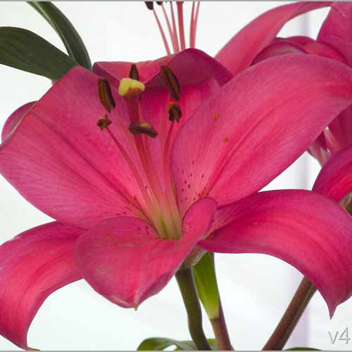 Asiatic Lilies Dark Pink - India Delivery Only