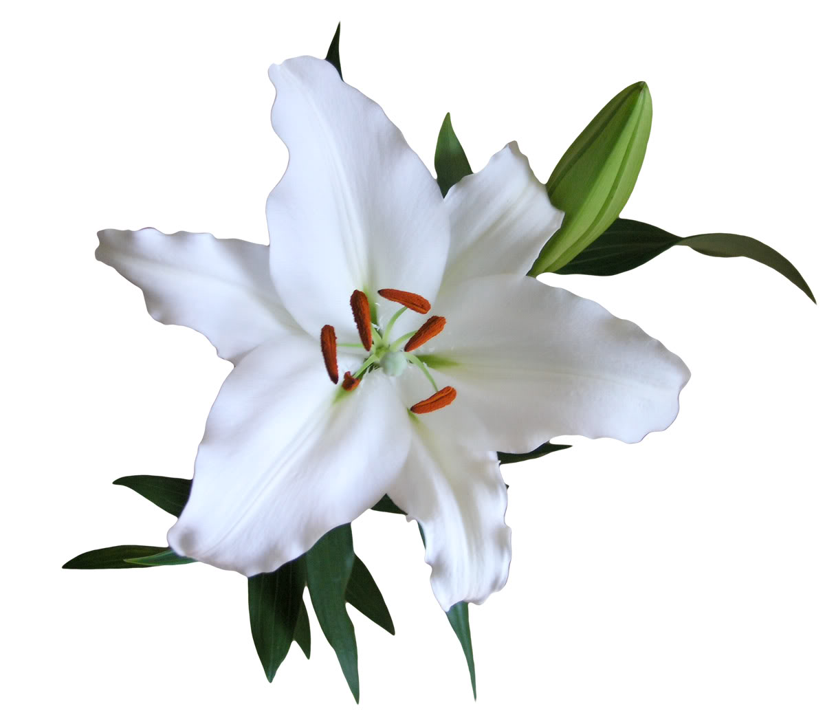 Asiatic Lilies White