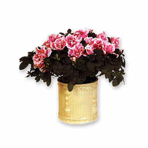 Azalea in a Planter - Russia Delivery Only