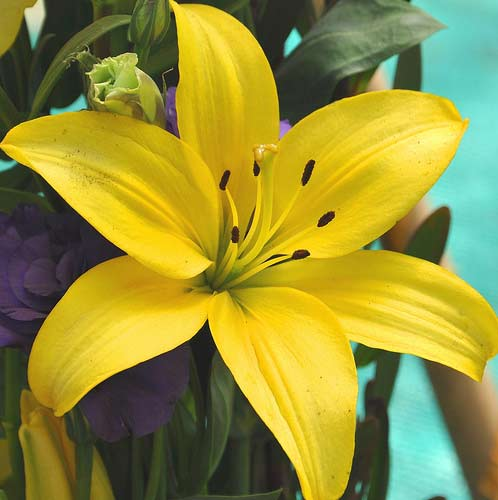 Asiatic Lilies Yellow