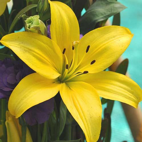 Oriental Lilies Yellow